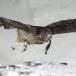 Blakistons visuil -Blakiston's fish owl 02