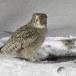 Blakistons visuil -Blakiston's fish owl 06