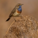 blauwborst-bluethroat-14