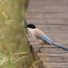blauwe-ekster-azure-winged-magpie-03