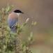 blauwe-ekster-azure-winged-magpie-04