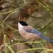 blauwe-ekster-azure-winged-magpie-06
