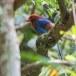 Blauwe-kitta-Sri-Lanka-blue-magpie-01