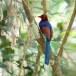 Blauwe-kitta-Sri-Lanka-blue-magpie-02