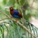 Blauwe-kitta-Sri-Lanka-blue-magpie-04