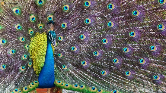 Blauwe-pauw-ndian-peafowl-04