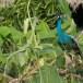Blauwe-pauw-ndian-peafowl-01