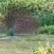 Blauwe-pauw-ndian-peafowl-02