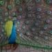 Blauwe-pauw-ndian-peafowl-03