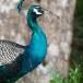 Blauwe-pauw-ndian-peafowl-06