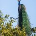 Blauwe-pauw-ndian-peafowl-08