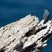 Blauwe-Rotslijster-Blue-Rock-Thrush-25