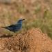 blauwe-rotslijster-blue-rock-thrush-02