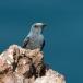 blauwe-rotslijster-blue-rock-thrush-07