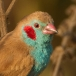 blauwfazantje-red-cheeked-gordon-blue-02
