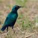 blauwoorglansspreeuw-lesser-blue-eared-glossy-starling-02