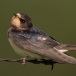 boerenzwaluw-barn-swallow-06