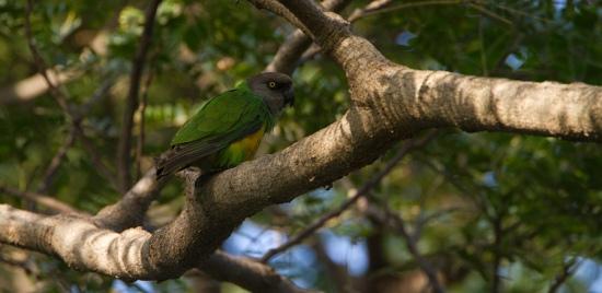 bont-boertje-senegal-parrot-01