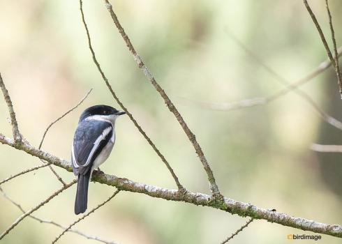 Bonte-dwergtriller-Bar-winged-flycatcher-shrike-04