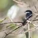 Bonte-dwergtriller-Bar-winged-flycatcher-shrike-03