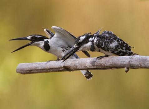 bonte-ijsvogel-pied-kingfisher-10
