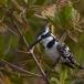 bonte-ijsvogel-pied-kingfisher-02
