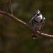 bonte-ijsvogel-pied-kingfisher-04