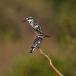 bonte-ijsvogel-pied-kingfisher-12