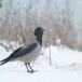 Bonte kraai - Hooded Crow 01