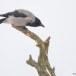 Bonte kraai - Hooded Crow 02