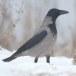 Bonte kraai - Hooded Crow 03