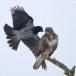 Bonte kraai - Hooded Crow 04