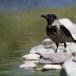 Bonte kraai - Hooded Crow 05
