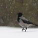 Bonte-kraai-Hooded-Crow-08