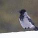 Bonte-kraai-Hooded-Crow-09