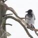Bonte-kraai-Hooded-Crow-10