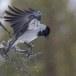 Bonte-kraai-Hooded-Crow-11