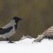 Bonte-kraai-Hooded-Crow-12