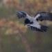 Bonte-kraai-Hooded-Crow-14