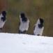 Bonte-kraai-Hooded-Crow-15