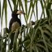 bonte-tok-african-pied-hornbill-02