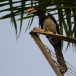 bonte-tok-african-pied-hornbill-04