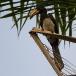 bonte-tok-african-pied-hornbill-05