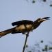 bonte-tok-african-pied-hornbill-07