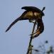 bonte-tok-african-pied-hornbill-08