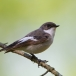 bonte-vliegenvanger-pied-flycatcher-03