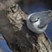 Boomklever ssp clara -  Eurasian Nuthatch ssp clara 01