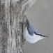 Boomklever ssp clara -  Eurasian Nuthatch ssp clara 08