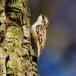 boomkruiper-short-toed-treecreeper-03