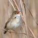 bosrietzanger-marsh-warbler-01